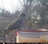 Trail Cam Northern Flicker -lll- 205-18.jpg
