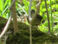 waterthrush3.jpg