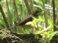 waterthrush4.jpg