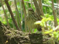 waterthrush5.jpg