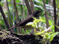 waterthrush4adjusted.jpg