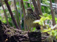 waterthrush5adjusted.jpg
