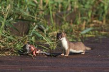 stoat_3318 - Copy.JPG