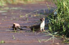 stoat_3219 - Copy.JPG
