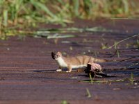 stoat_3207 - Copy.JPG