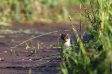 stoat_3287 - Copy.JPG