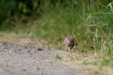 stoat_1821 - Copy.JPG