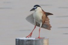 Rufous Night Heron (01) - Copy.jpg