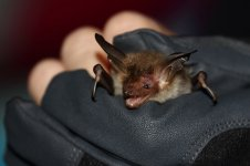 20180830 (3)_Bechsteins_Bat.JPG