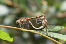 Common_Darter_Tandum13_8_2018_Leighton_Moss.JPG
