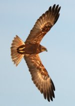 Marsh Harrier_6554.jpg