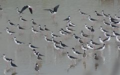 Blacknecked Stilt.jpg
