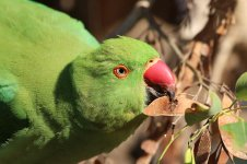 Ring-necked Parakeet is 3.jpg