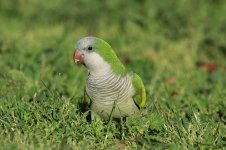 Monk Parakeet is 1.jpg