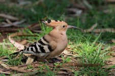 Hoopoe is 2.jpg