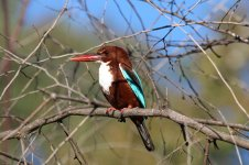 White-throated Kingfisher is 1.jpg