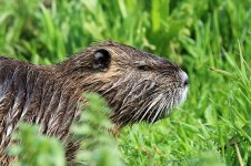 Coypu is 1.jpg