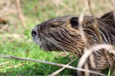 Coypu is 2.jpg