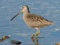 02 Long billed dowitcher.jpg