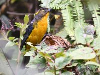 Lacrimose_mountain_tanager_00004 (800x600).jpg