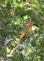 Summer Tanager young male -2010.jpg