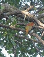 Summer Tanager - young male - 2010  snip- .jpg