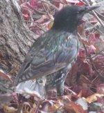 European Starling.jpg
