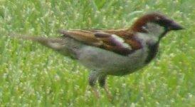 House Sparrow Male.jpg