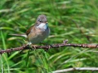Whitethroat Male 2.jpg
