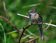 Whitethroat Male 4.jpg