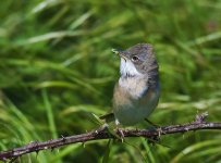 Whitethroat Male.jpg