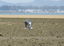 White-faced Heron flightbf thread.jpg