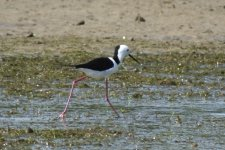 Pied Stiltbf thread.jpg