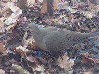 Mourning Dove_2.jpg