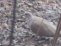 Eurasian Collard Dove.jpg