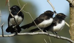 Willie Wagtail adult & young.jpg