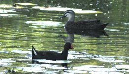 Pacific Black Duck & Dusky Moorhenbf thread.jpg