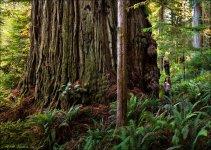 largest_biggest_coast_redwood_1200.jpg