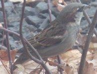 House Sparrow Male_2.jpg