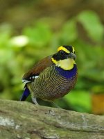 javan banded pitta male potrait.jpg