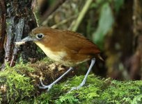 yellow breasted antpitta.JPG