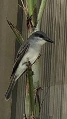 Grey Kingbird.jpg