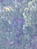 Scaly-naped Pigeon.jpg