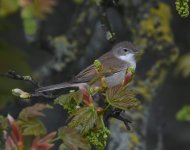 Whitethroat_Girdle Ness_030520a.jpg