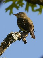 Eastern Wood Peewee.jpg