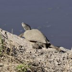Freshwater Turtle, Carter's Creek, Bryan, Texas.jpeg