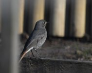 Black Redstart_Girdle Ness_230420a.jpg