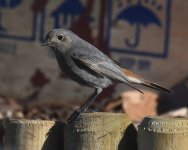 Black Redstart_Girdle Ness_230420b.jpg