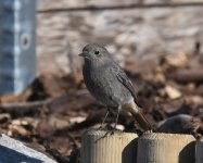 Black Redstart_Girdle Ness_230420c.jpg