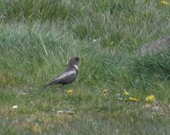 Ring Ouzel_Girdle Ness_250420a.jpg